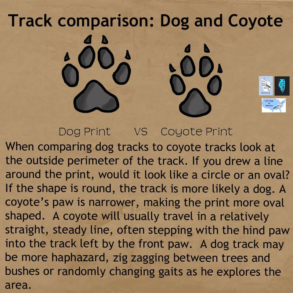 Difference Between Fox And Coyote: Track Comparison: Dog And Coyote