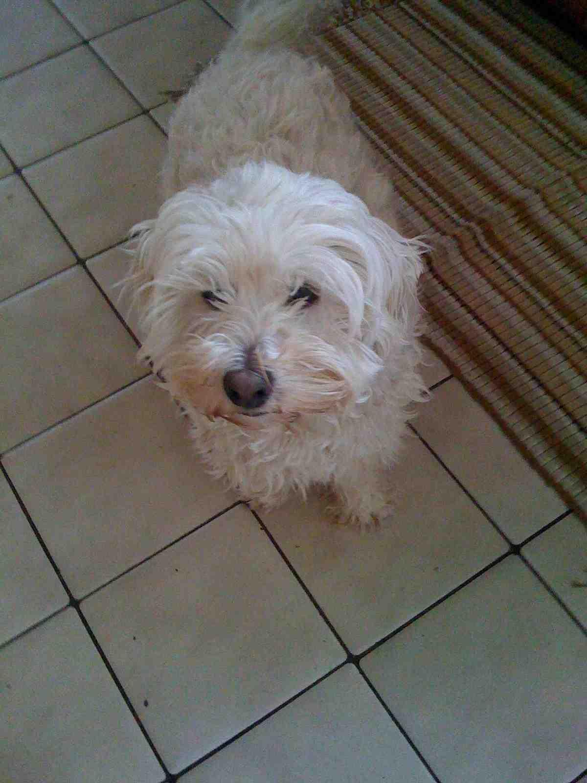 Silver Yorkie Poo Cairn terrier- yorkie poo.